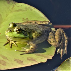 Wheaton, IL, Cantigny Park, Idea Garden, Frog in a Lily Pad Pond (Mary Warren (7.6+ Million Views)) Tags: wheatonil cantignypark nature fauna flora green plants garden pond animal amphibian lilypads frog