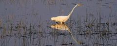Evening Hunter (jfusion61) Tags: florida st marks stmarksnationalrefuge stmarksriver swamp evening egret nikon d810 water 200500mm mounds pond
