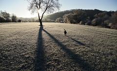 ... (joachim.d.) Tags: nahefrost duke dog hund rhinelandpalatinate nahewiesen staudernheim badsobernheim schatten baum sonnenaufgang morningsun shadows frost