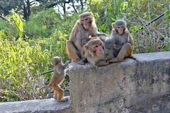 DSC_3466monkey (BasiaBM) Tags: swayambhunath monkey temple kathmandu nepal