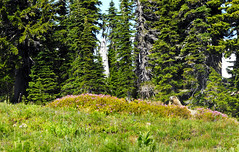 Marmot in Heather, Mount Rainier National Park (svandagr) Tags: travel trees wild animal washington nationalpark outdoor hiking heather trail mountrainier marmot marmots