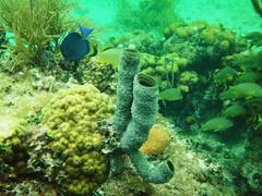 Branching Vase Sponge (alansurfin) Tags: ocean sea fish animal coral keys underwater florida tube diving snorkeling tropical reef sponge
