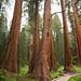 Uma coleção de sequoias
