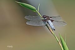 IMG_0799 Libellula dpressa  blog (kadely) Tags: macro topf25 eos eau dragonflies dragonfly makro insekt insekten insectes libellule proxy 70d 3000v120f canonfrance macrolife 55250mm macroinsectes infinitexposure
