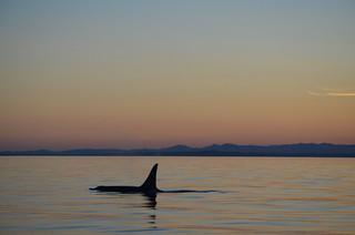 Orca - Vancouver Island
