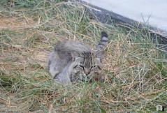Tigros (.Vale.) Tags: cats baby animals cat kitten feline kitty kittens gatto gatti rifugio micio micia gattino gatta catshelter gattini micini
