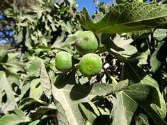 شجرة التين القويلبة (fchmksfkcb) Tags: jordan romanempire jordanien römer pella gadara romanruins ummqays abila tabaqatalfahl quwaylibeh