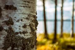 Iisalmi (Tuomo Lindfors) Tags: lake tree water suomi finland koivu birch puu vesi jrvi iisalmi niksoftware porovesi theacademytreealley analogefexpro luuniemi