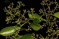 Acmena smithii (andreas lambrianides) Tags: myrtaceae flowerbuds australianflora australiannativeplants arfp acmenasmithii australianrainforests australianrainforestplants syzygiumsmithii nswrfp qrfp vicrfp arfflowers