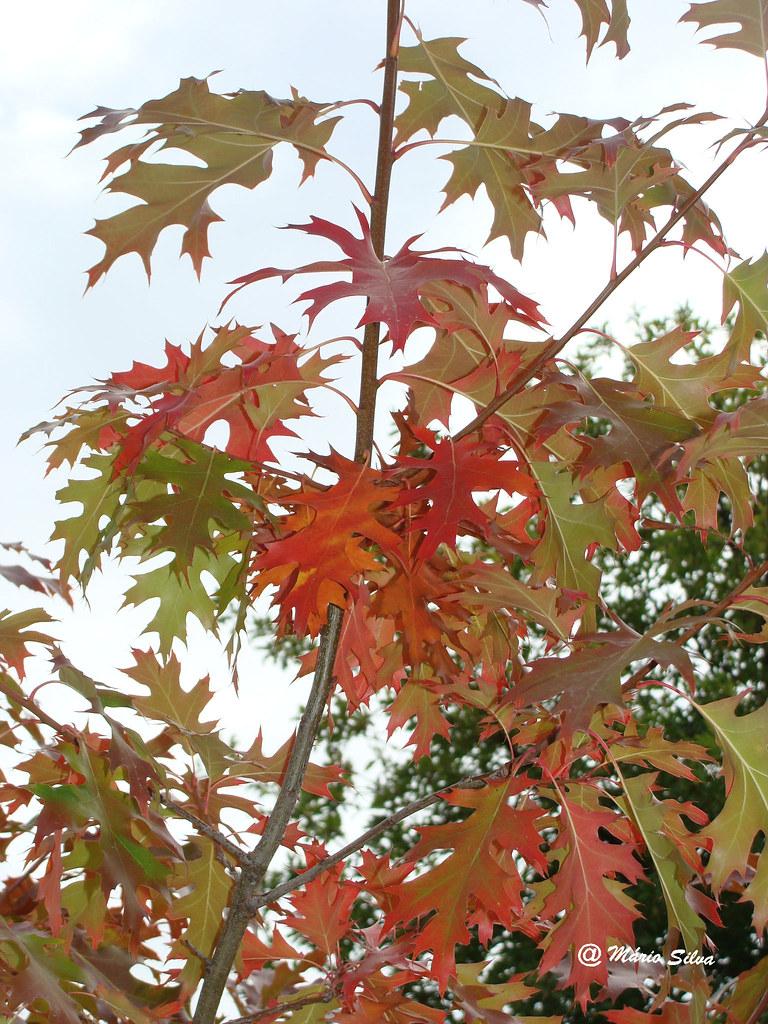 Águas Frias (Chaves) - ... folhas com cores de outono (2009)