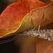 Autumn Mottled Sedge Caddisfly - Neophylax splendens, Coldstream, British Columbia