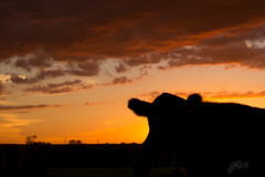 Watching the sunset (DustinJ05) Tags: ranch leica sunset 50mm cow cattle f14 m calf summilux ranching typ240