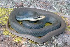 eastern yellow-bellied racer (Coluber constrictor flaviventris) (Michael Cravens) Tags: yellow belly missouri eastern ozarks bellied racer yellowbellied coluber constrictor flaviventris ellied yellowbelly yellowbyellowbelly