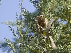 Bronze Sunbird nest - Nectarina kilimensis (StoufferLSU) Tags: tanzania nests bronzesunbird nectariniidae nectarinakilimensis simbafarm