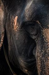 DSC_0350 (Mohammad Rashed) Tags: elephant oldage sorrows