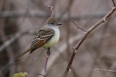 Ash-throated Flycatcher (a320rainman) Tags: birds massachusetts rare rockport flycatcher capeann ashthroatedflycatcher tyrantflycatcher knuthansen