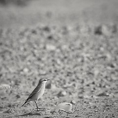 #blackandwhite #bw #ابيض_اسود #bird #burds #طير #طيور  #cute #landscape #photography #petsandanimals #animal #anmils  #تصويري #الرياض #السعودية #sonyalpha #sony #a57 #ksa #الامارات #الكويت #قطر #البحرين #فوتوغرافي #انستقرام @x3abrr  #Instagram (photography AbdullahAlSaeed) Tags: blackandwhite bw cute bird animal landscape photography sony ksa burds a57 الامارات الكويت البحرين petsandanimals تصويري قطر السعودية الرياض طير طيور sonyalpha فوتوغرافي ابيضاسود anmils instagram انستقرام
