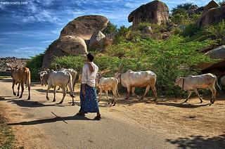 A Shepherd in Hampi