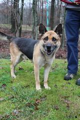 IMG_3873 (SassyKnits) Tags: rescue dog shepherd germanshepherd adopt mixedbreed adoption gsd sedonashepherdsanctuary