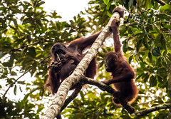 aprendiendo (www.infografiagijon.es) Tags: naturaleza nature canon selva asturias jungle malaysia borneo orangutan gijon sabah xixon markii malasia asturies simios infografia astur eos5d semporna hernancad wwwinfografiagijones