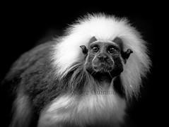 Tamarin (guiraud_serge) Tags: brazil brasil monkey brésil tamarin singes amazonie saguin sergeguiraud jabiruprod singesdunouveaumonde saguinusoedipu