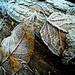 Leaves_9483