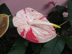 painted anthurium (BarryFackler) Tags: flower bloom plant garden home captaincookhi spathe floral botanical life organism tropical southkona vegetation gardening petals captaincook botany horticulture biology captaincookhawaii ecology flora leaves anthurium paintedanthurium barryfackler kona hawaiiisland bigisland sandwichislands polynesia barronfackler 2016 hawaii hawaiicounty hawaiianislands westhawaii outdoor