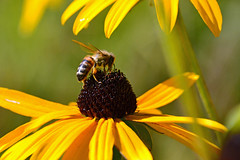 Autumn bee (AndyorDij) Tags: rudbeckia coneflower bee honeybee apismellifera bokeh plants flowers insects insect gardens empingham england rutland uk unitedkingdom 2016 andrewdejardin