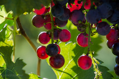 the harvest season (lvphotos!) Tags: grapes plant winery fruit season summer fall colors colorful light backlit burgundy red wine