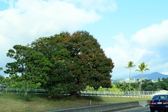 10152016_012 (ALOHA de HAWAII) Tags: hugetree h1freeway oahu hawaii