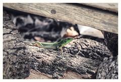 Framed by logs (s1nano) Tags: nikontc200 tamron90mmspmacrof25 lizard green logs animal nature nikond7000 manualfocuslens oldmacrolens wooden woods wood