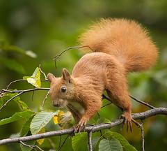 Walking on a thin branch (hedera.baltica) Tags: squirrel redsquirrel eurasianredsquirrel wiewirka wiewirkapospolita sciurusvulgaris
