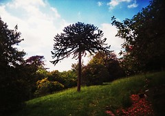 Monkey Puzzle 2 (teaselbrush) Tags: analogue film camera toy superheadz slim white angel photography sussex uk england british seaside town coast coastal urban brighton city extra mural cemetery lewes road graveyard memorial death mourning nature tree monkey puzzle hill trees grass leaves