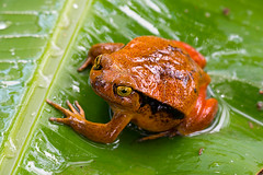 Tomato Frog (Palnick) Tags: frog dyscophus animal wildlife amphibian nature red isolated pet amphibia toxic tropical wild poisonous vertebrate cute antongilii endangered orange poison wet background tomato macro colorful exotic rainforest microhylidae pattern species portrait big madagascar tree nocturnal africa warning substance staring sign blue clambering climate arrow aquatic organism closeup
