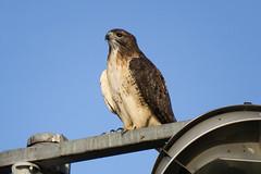 Red-tailed Hawk (jphillipobrien2006) Tags: lakewoodpinepark wildnewjersey redtailed hawk redbreasted nuthatch easternbluebird