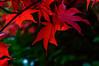 Red leaves (Steve_McCaul) Tags: beginnerdigitalphotographychallengewinner