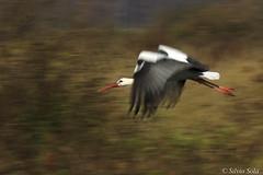 White stork in panning motion.... (Silvio Sola) Tags: cicogna bianca white stork panning movimento uccello bird