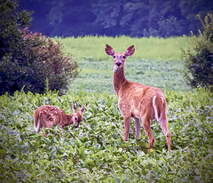 Brian_Doe And Fawn 1_LG_073116_2D (starg82343) Tags: 2d brianwallace crop farmland deer whitetail doe fawn family motherandchild trees centreville md maryland animal wildlife nature plants field