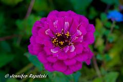 Violett Zinnia (Bernsteindrache7) Tags: autumn sony alpha 100 color flora fauna flower bloom blossom blume garden park landscape outdoor