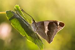 Groer Schillerfalter  Purple Emperor Apatura iris (Bluesfreak) Tags: insekten schmetterlinge tagfalter apaturairis groserschillerfalter purpleemperor insects butterfly unterfranken taubertal lepidoptera visipix