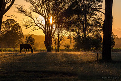 Golden Mare (Robert Casboult) Tags: landscape landscapephotography landscapelovers rural australia huntervalley outdoors horse goldenhour canoneos6d canon70200f4lens countryscene farmland farms field sunrise