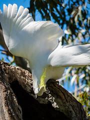 P1150536 (Pursuedbybear) Tags: sydney sydney2016 royalbotanicgardens birds cockatoo sulphurcrestedcockatoo cacatuagalerita