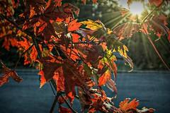 After realizing (builder24car) Tags: autumn fallcolors perspective intothesun tree red leaves sunburst leecounty sanfordnorthcarolina
