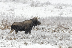 Bull Moose (rockymtnchick) Tags: bull moose bullmoose wildlife nature snow winter fall kananaskis alberta canada october wintry snowy cold meadow snowcovered nikon d7000 snowing kcountry kananaskiscountry deecresswell