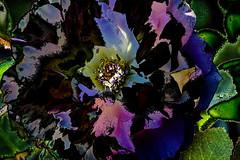 Multicolor (seguicollar) Tags: rosa multicolor flor flower planta vegetacin vegetal imagencreativa photomanipulacin virginiasegu artedigital arte art artecreativo