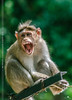 Aggression (creati.vince) Tags: andhra creativince fauna horsleyhills travel trip rhesus macaque agression jaws