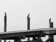 The Three Tenors in Bodega Bay, California (Stephen Sarhad) Tags: birds fog bodegabay ca usa