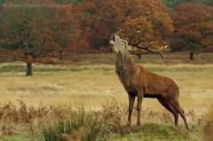 Red Deer Rut (GreenDreamsPhotography) Tags: reddeer edelhert bronst rut ruttingseason stag gewei burlen herfst autumn richmondpark urbanwildlife bellowing