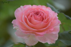 have a beautiful day!!! (martinap.1) Tags: rose flower blume blte