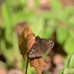 Juvenal's Duskywing _8800 ( Erynnis juvenalis ) (agawa2yukon) Tags: hesperiidae pyrginae butterflies butterfly algoma lepidoptera
